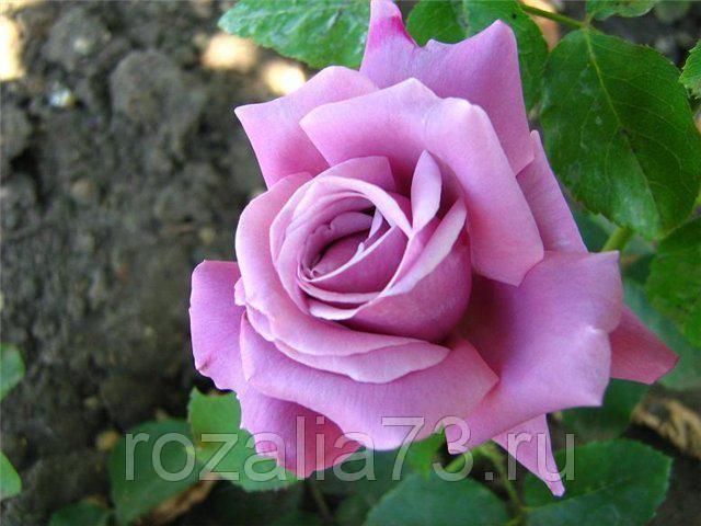 Саженец розы Блю Парфюм: фото и описание