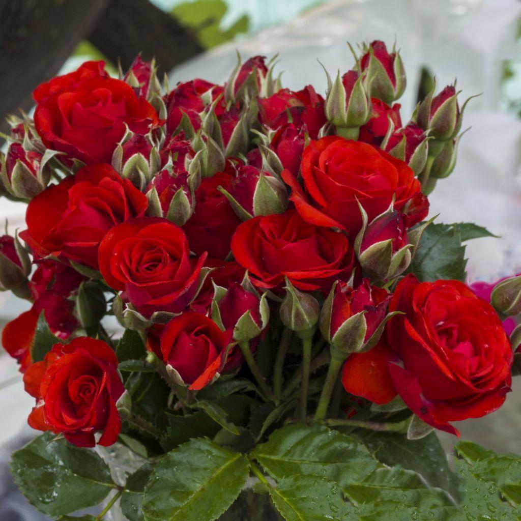 Саженец розы Бордер Кинг: фото и описание