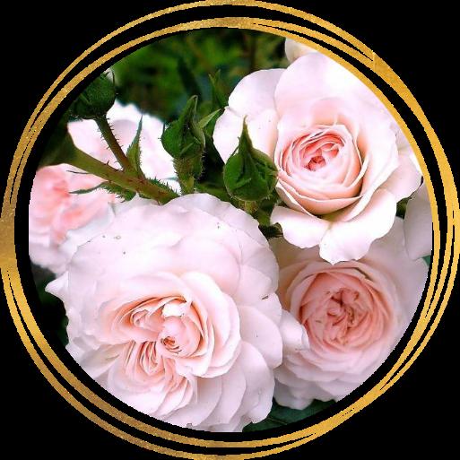 Саженец розы Бремен Штадтмузикантен: фото и описание