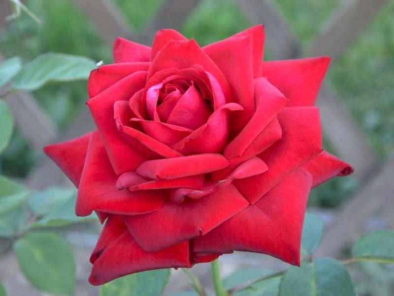 Саженец розы Бургунд 81: фото и описание