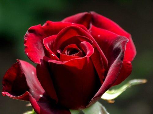 Саженец розы Черный принц: фото и описание