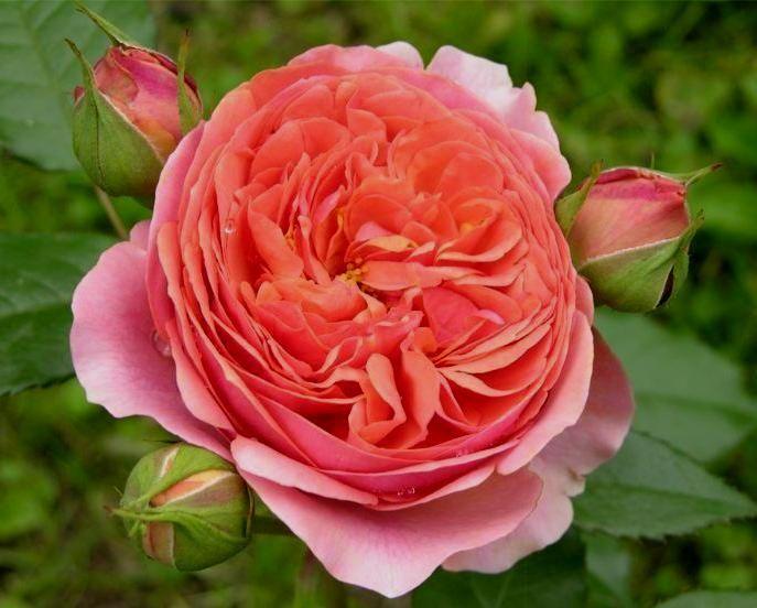 Саженец розы Чиппендейл: фото и описание