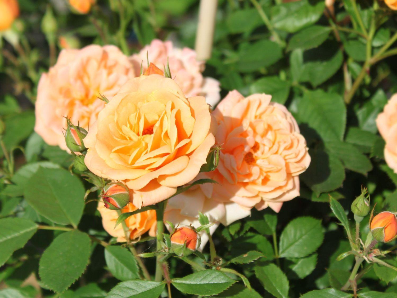 еще рецепты сорта миниатюрных роз с фото и названиями приготовить чизкейк творога