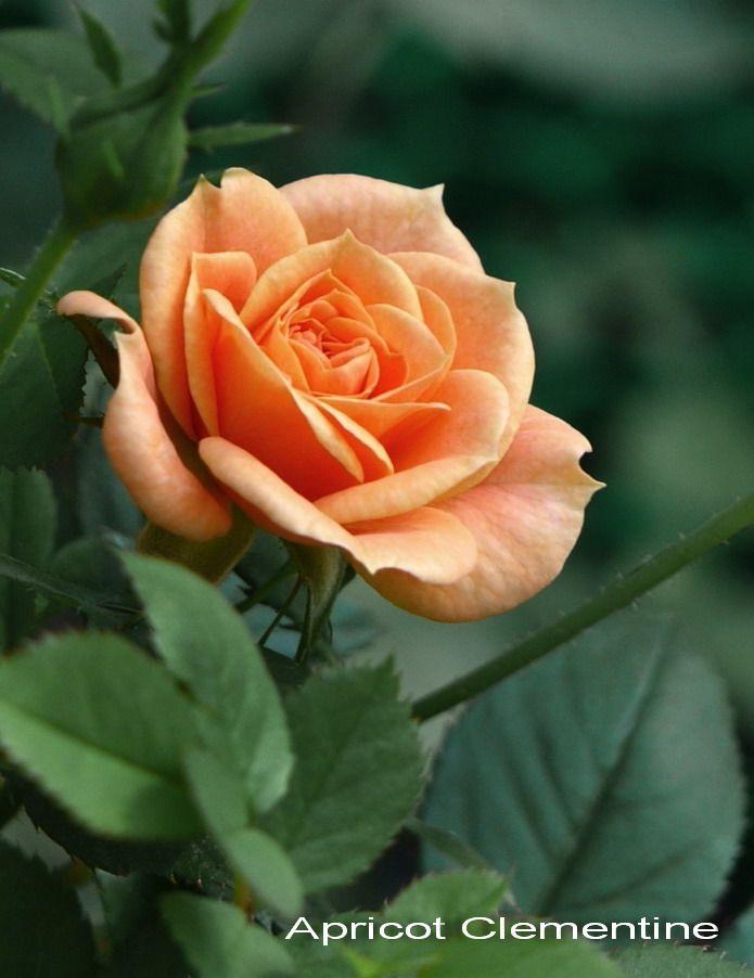 Саженец розы Clementinte (Клементина): фото и описание