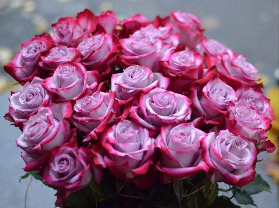 Саженец розы Дип Перпл: фото и описание