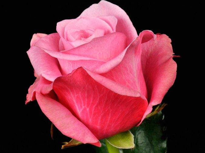 Саженец розы Дип Вотер: фото и описание