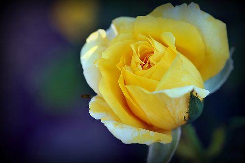 Саженец розы Джина Лоллобриджида: фото и описание