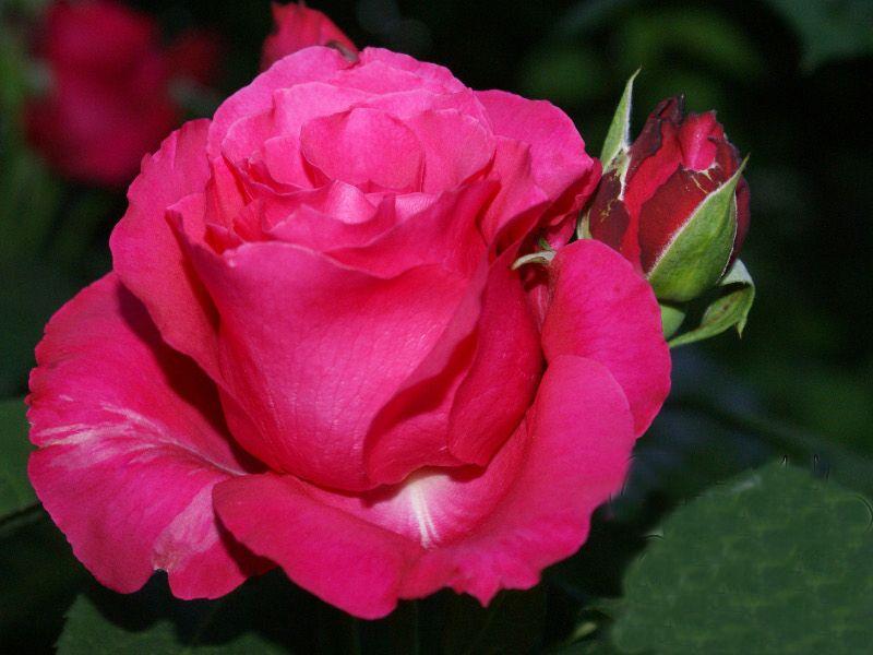 Саженец розы Джиральдо: фото и описание