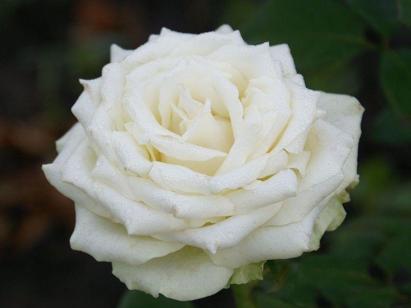 Саженец розы Эдвин: фото и описание