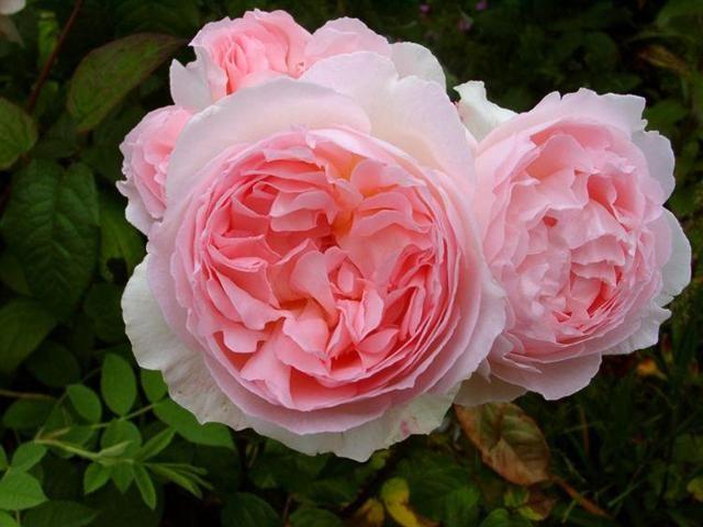 Саженец  английской розы Эглантин: фото и описание