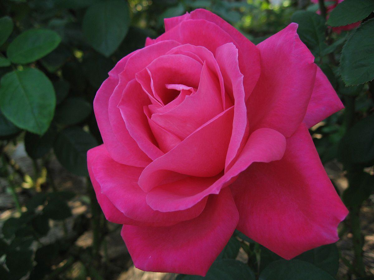 Саженец розы Экскалибур: фото и описание