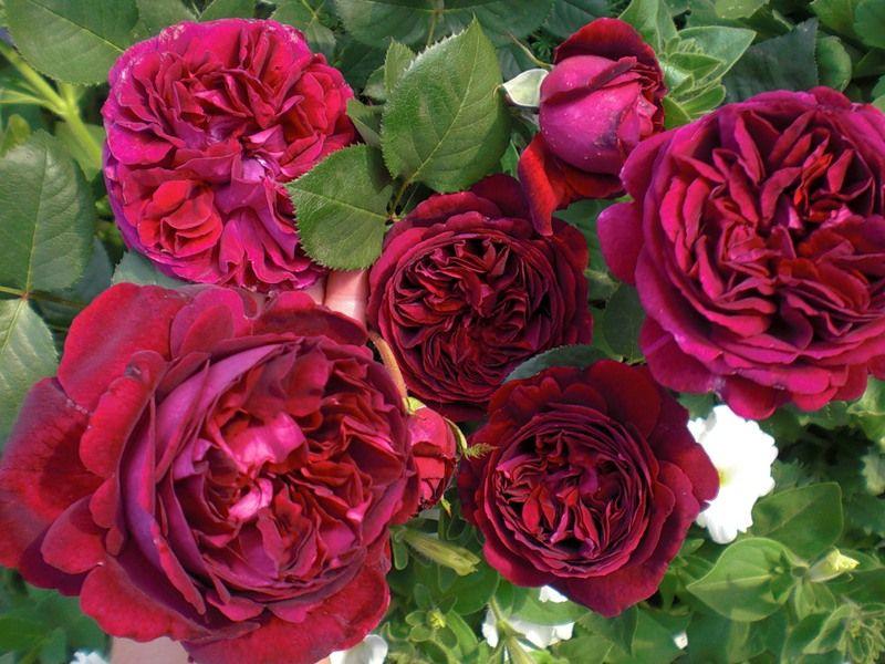 Саженец розы Эл Ди Брэйтуэйт: фото и описание