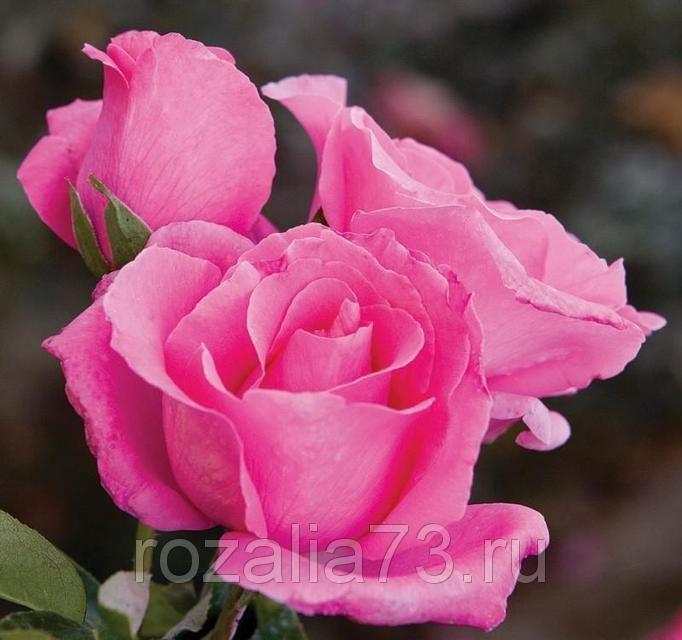 Саженец розы Европа: фото и описание