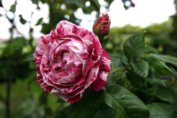 Саженец розы Фердинанд Пишард: фото и описание