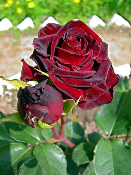 Саженец розы Фиджи Негро: фото и описание