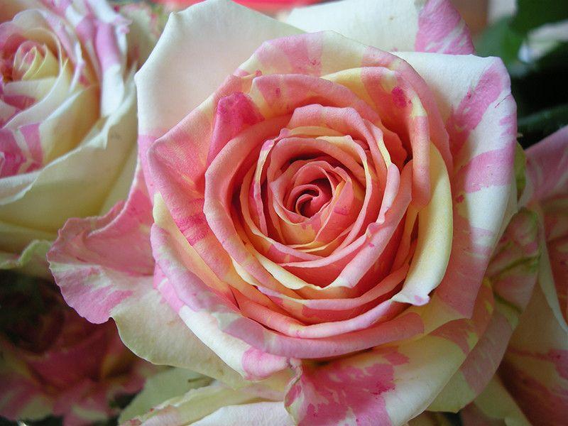 Саженец розы Фиеста: фото и описание