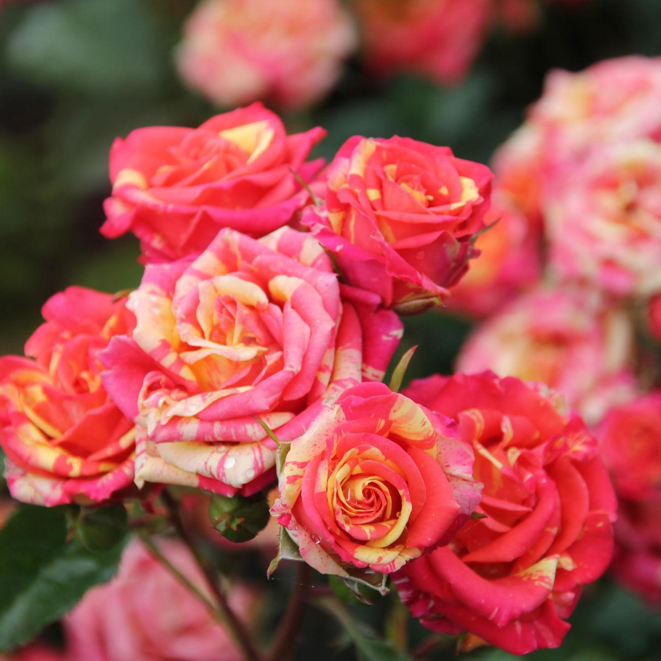 Саженец розы Fire Flash (Вспышка огня): фото и описание