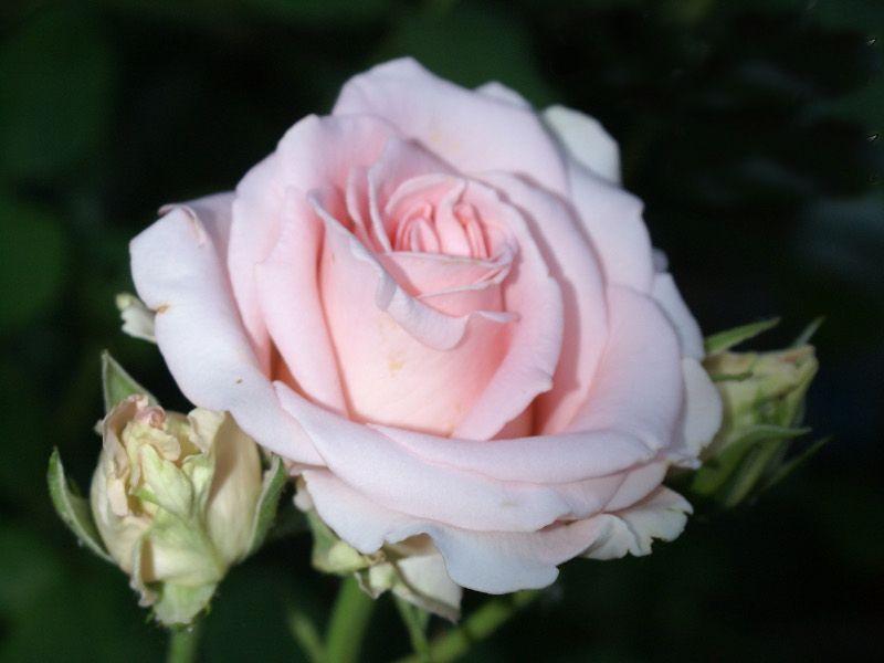 Саженец розы Фламинго: фото и описание
