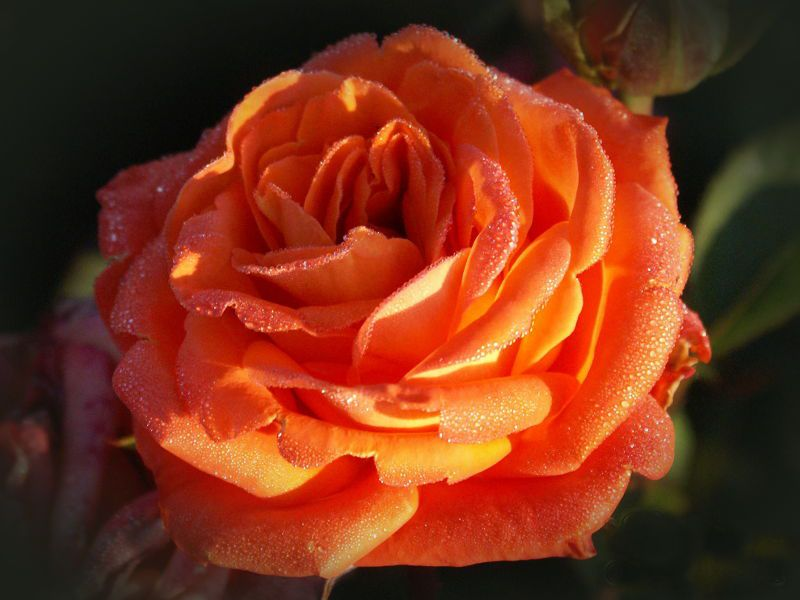 Саженец розы Фольклор: фото и описание