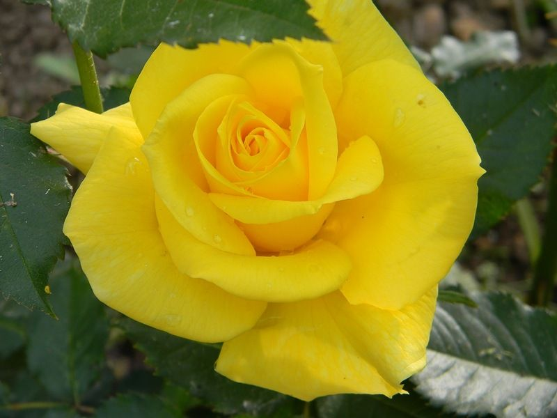 Саженец чайно-гибридной розы Фрезия: фото и описание