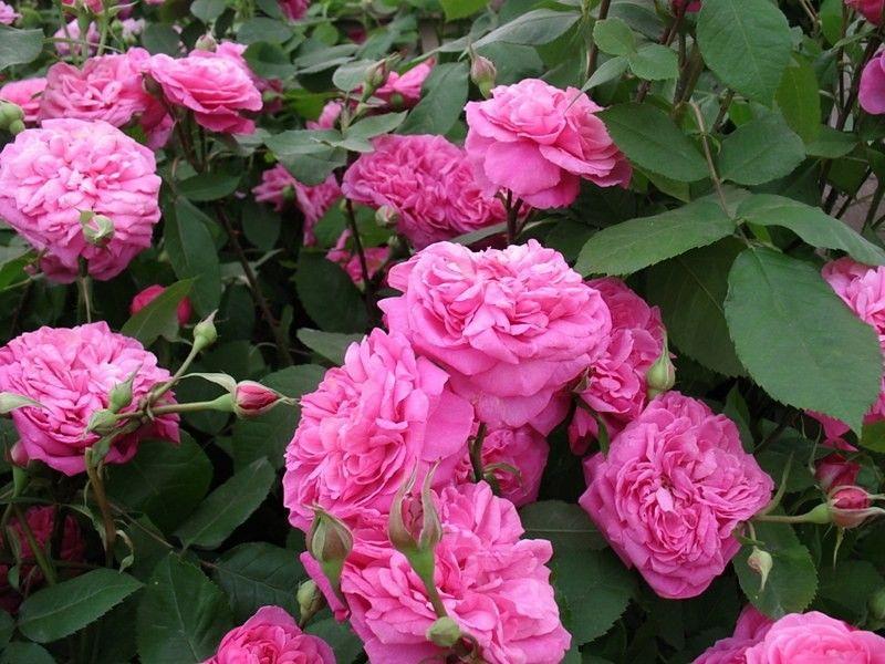 Саженец розы Гертруда Джекилл: фото и описание