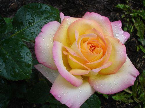 Саженец розы Глория Дей: фото и описание
