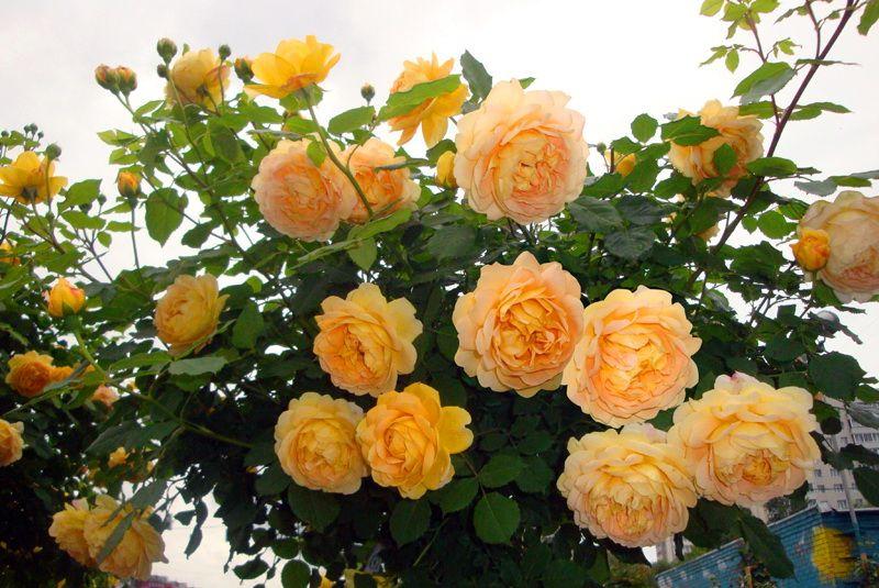 Саженец розы Голден Селебрейшн: фото и описание