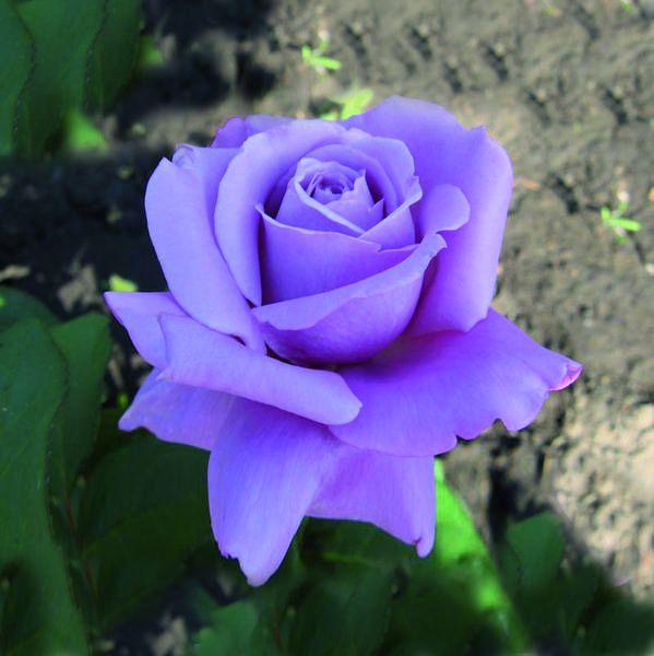 Саженец розы Голубой Нил: фото и описание