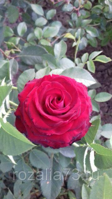 Саженец розы Госпел (Gospel): фото и описание