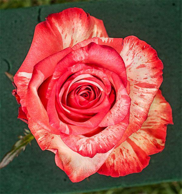 Саженец розы Хай Твинкл: фото и описание