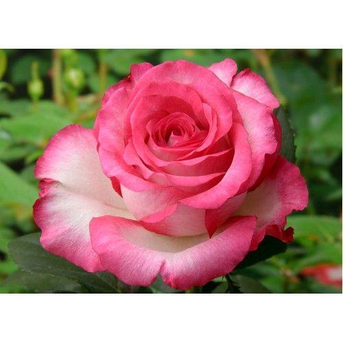 Саженец розы Хайлендер: фото и описание
