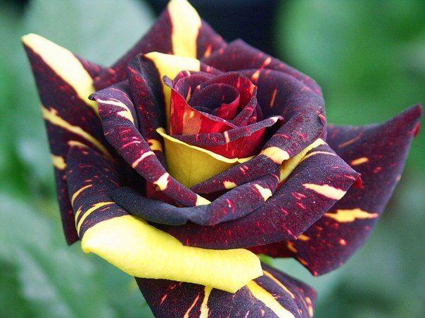 Саженец розы Hokus Pokus (Фокус-Покус): фото и описание