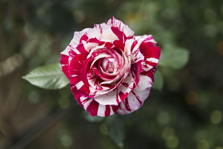 Саженец розы Хулио Иглесиас: фото и описание