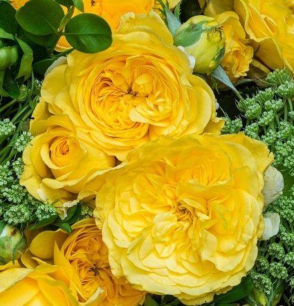 Саженец розы Инка: фото и описание
