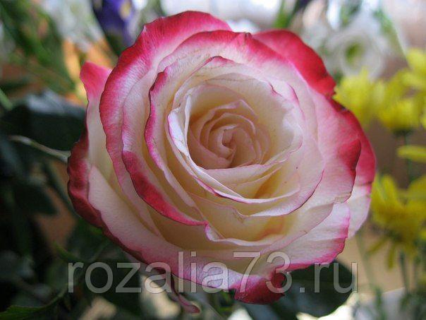 Саженец розы Кабаре: фото и описание