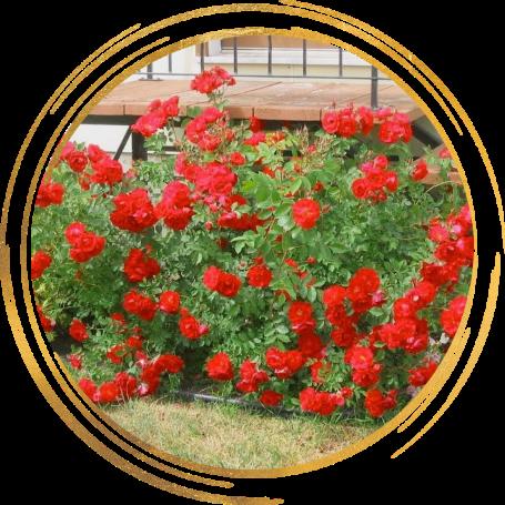 Саженец канадской розы Аделаида Худлес: фото и описание