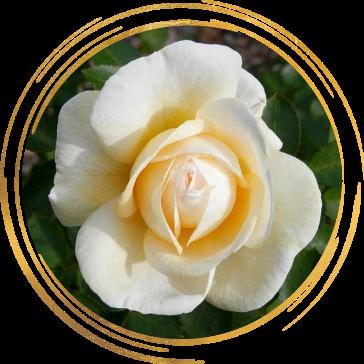 Саженец канадской розы Джей Пи Коннел: фото и описание