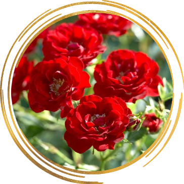Саженец канадской розы Хоуп фо Хьюманити: фото и описание