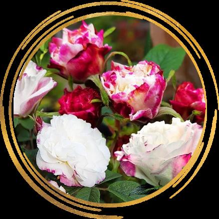 Саженец канадской розы Луиза Багнет: фото и описание