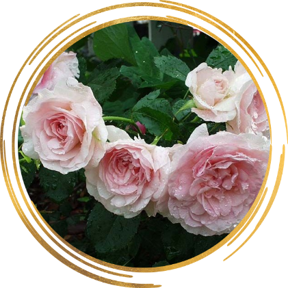 Саженец канадской розы Моден Блаш: фото и описание