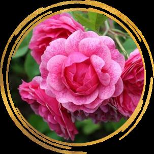 Саженец канадской розы Моден Руби: фото и описание
