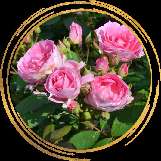 Саженец канадской розы Прейри Джой: фото и описание
