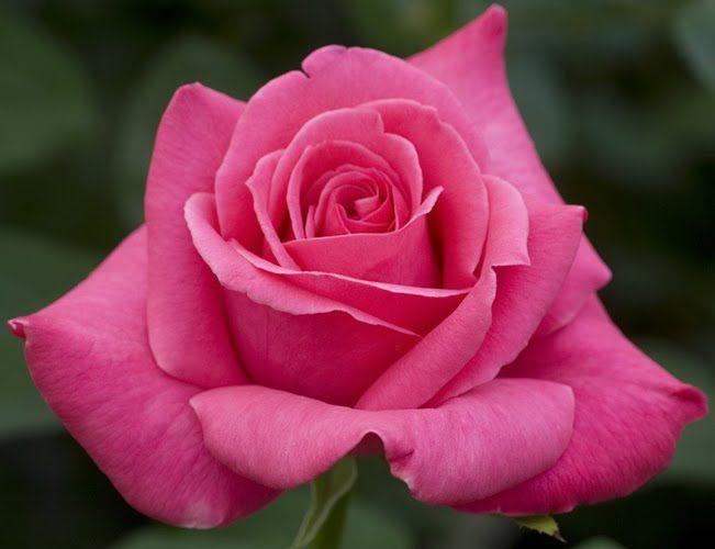 Саженец розы Каприз дэ Мейян: фото и описание