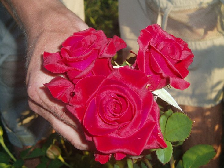 Саженец чайно-гибридной розы Кардинал 85: фото и описание