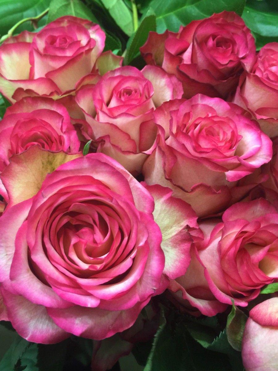 Саженец розы Карусель: фото и описание