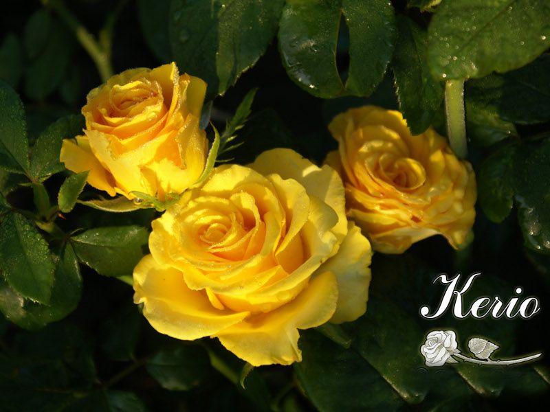 Саженец розы Kerio: фото и описание