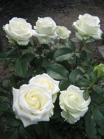 Саженец розы Клер океан: фото и описание