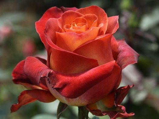 Саженец розы Кофе Брейк: фото и описание