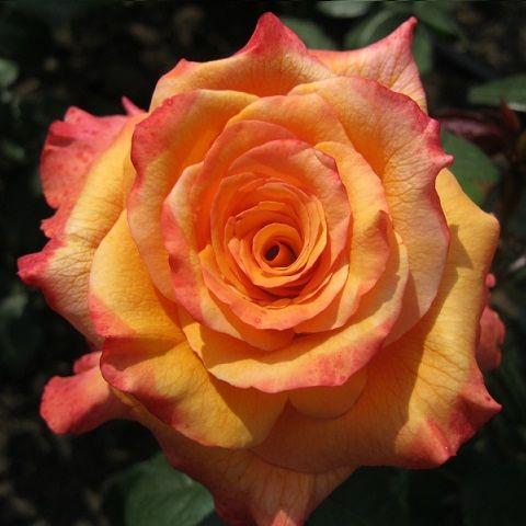 Саженец розы Конго: фото и описание