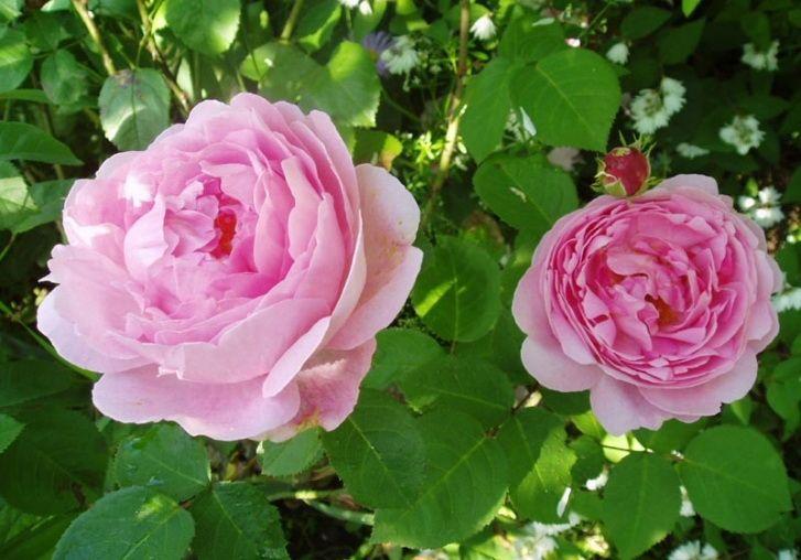 Саженец розы Констанс спрай: фото и описание